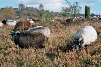 Twedter Feld bei Flensburg: 200 tierisch gute Rasenmäher pflegen die Flora