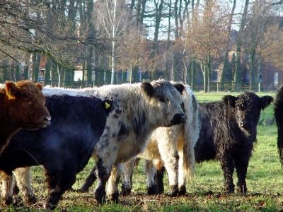 Flensburg Schäferhaus – Wildpferde und Galloways vereint im Erholungsgebiet
