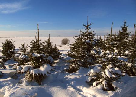 Die Stadt Flensburg sammelt die Weihnachtsbäume ein