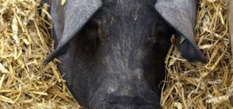 Nochmal in früheren Zeiten stöbern? Flensburg-Szene hat die Fotos aus Flensburg – sogar fette Schweine sind dabei