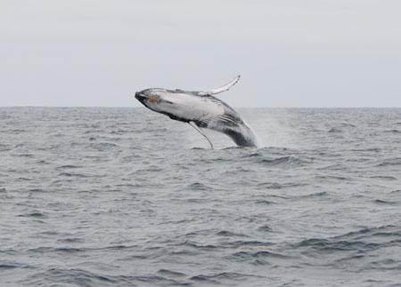 Zwei Buckelwale vor der Flensburger Förde entdeckt