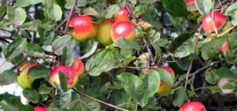 Apfelfahrt 2014:  Brüggemann pflanzt einen Original Gravensteiner Apfelbaum bei der Kita Tarup